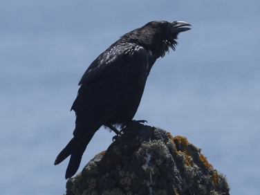Young Raven (Corvus corax) calling for parents from clffs