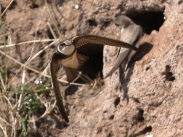 Sand Martin in flight