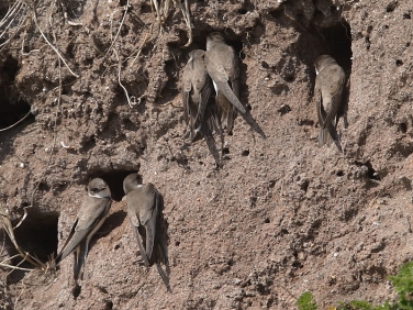 Sand Martins nesting in cliff
