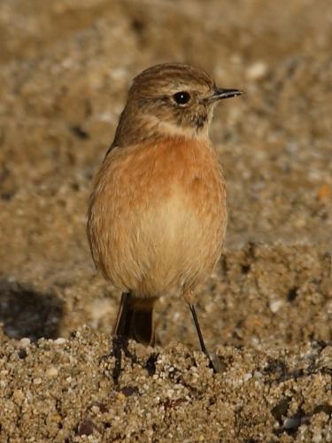 Stonechat (Saxicola torquata) - female