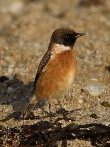 Stonechat (Saxicola torquata) - male
