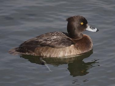 Tufted Duck (Aythya fuligula) - female