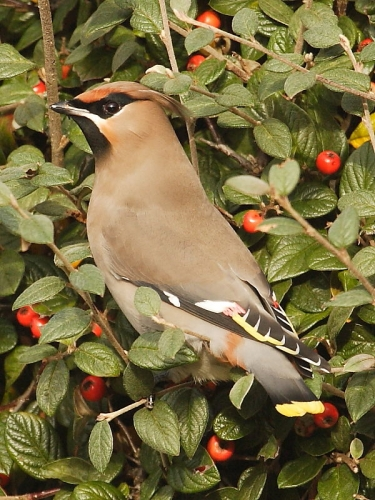 Waxwing (Bombycilla garrulus) on Cotoneaster berries