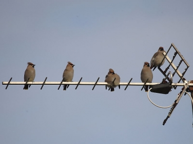 Waxwing (Bombycilla garrulus) on TV aerial in Cornwall