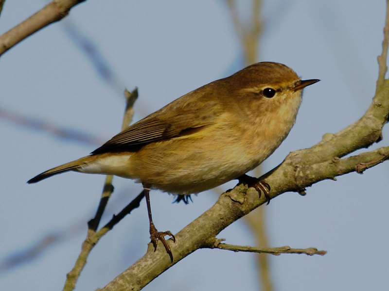 wintering chiffchaffs in cornwall wildlife insight. Black Bedroom Furniture Sets. Home Design Ideas