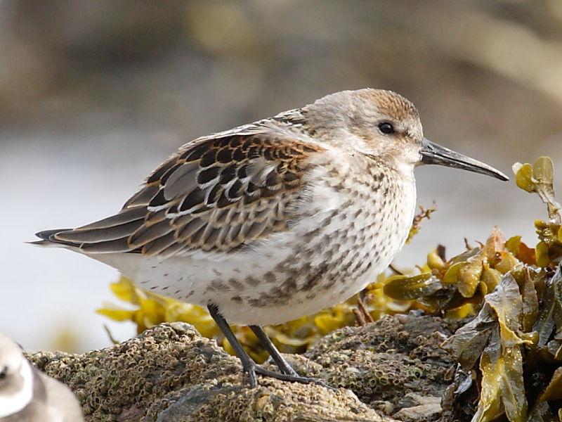British Wading Birds Dunlin Wildlife Insight
