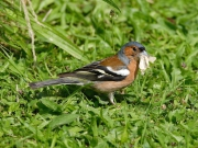 Chaffinch (Fringilla coelebs) eating a moth