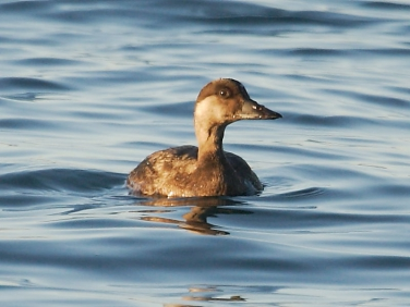 Common Scoter (Melanitta nigra) - female - a British diving duck