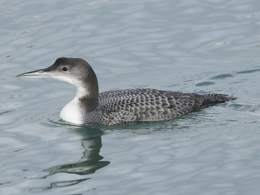 Great Northern Diver (Gavia immer) at Newlyn Harbour, Cornwall