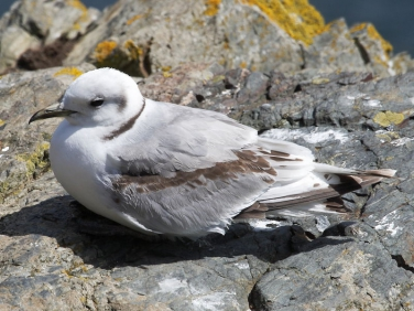 Kittiwake (Rissa tridactyla) on cliffs at Lizard Point