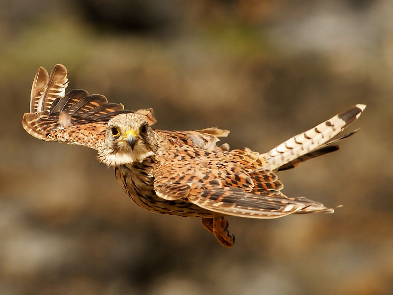 What S The Commonest British Bird Of Prey Wildlife Insight
