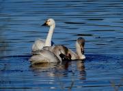 Bewick's Swan (Cygnus columbianus)