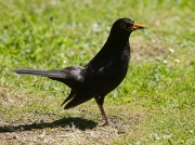 Blackbird (Turdus merula) - male