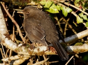 Blackbird (Turdus merula) - female
