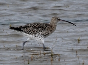 Curlew (Numenius arquata) High tide on the Hayle Estuary, Cornwall