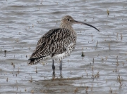Curlew (Numenius arquata) Resting at high tide on the Hayle Estuary, Cornwall