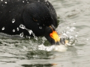 Common Scoter (Melanitta nigra) - drake feeding-on-bread