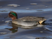 Teal (Anas crecca ) - drake swimming in the Hayle Estuary, Cornwall