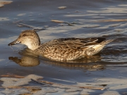Teal (Anas crecca) - female swimming in the Hayle Estuary, Cornwall