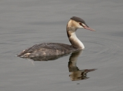 Great Crested Grebe (Podiceps cristatus) - winter