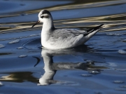 Grey Phalarope (Phalaropus fulicarius) feeding amongst sea weed off Castle Beach, Falmouth, Cornwall