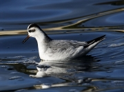 Grey Phalarope (Phalaropus fulicarius) feeding on sea off Castle Beach, Falmouth, Cornwall