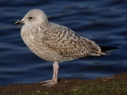 Herring Gull (Larus argentatus) - 1st winter