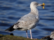Herring Gull (Larus argentatus) - 2nd winter