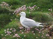 Herring Gull (Larus argentatus)