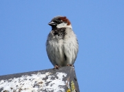 House Sparrow (Passer domesticus) - male