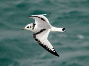Kittiwake (Rissa tridactyla) - first winter