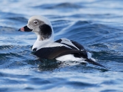 Long-tailed Duck (Clangula hyemalis) - male at Carnsew Basin, Hayle