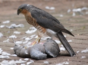Male Sparrowhawk (Accipiter nicus) eating Wood Pigeon  © Steve Ogden