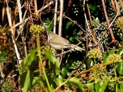 Paddyfield Warbler (Acrocephalus agricola ) Church Cove, Cornwall