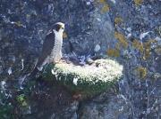 Peregrine Falcon (Falco peregrinus) - adult