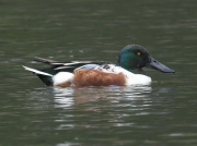 Shoveler Duck (Anas Clypteata) Drake on Helston Pool, Cornwall