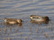 Teal (Anas crecca) - drake and female pair feeding in the Hayle Estuary, Cornwall