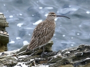 Whimbrel (Numenius phaeopu)