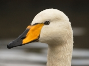 Whooper Swan (Cygnus cygnus) - beak and head of adult bird