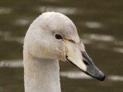 Whooper Swan (Cygnus cygnus) - first winter bill markings
