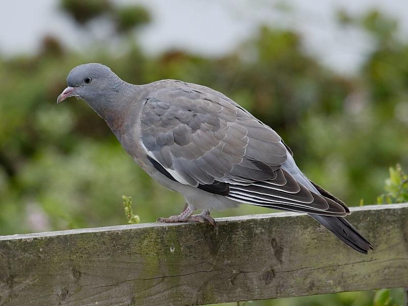 British garden birds - juvenile Woodpigeon | Wildlife Insight
