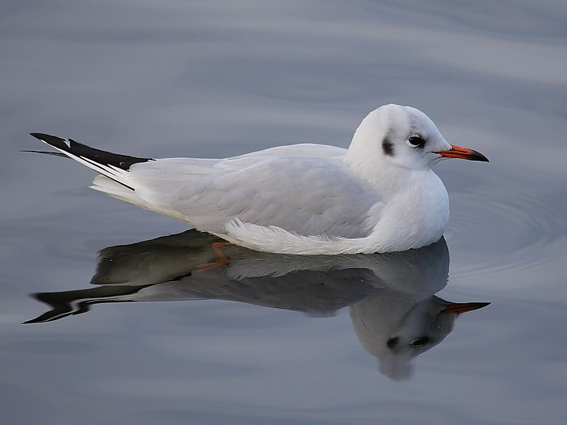 Black-headed Gull (Larus ridibundus) - adult winter