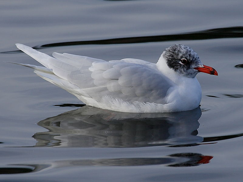 Mediterranean Gull (Larus melanocephalus) - adult moulting from summer to winter plummage