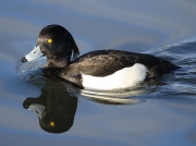 Tufted Duck (Aythya fuligula) - male