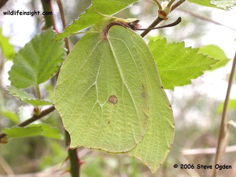 Brimstone Butterfly (Gonepteryx rhamni) female © 2006 Steve Ogden