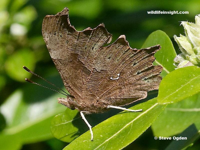 Darker underside of female Comma butterfly - photo Steve Ogden.