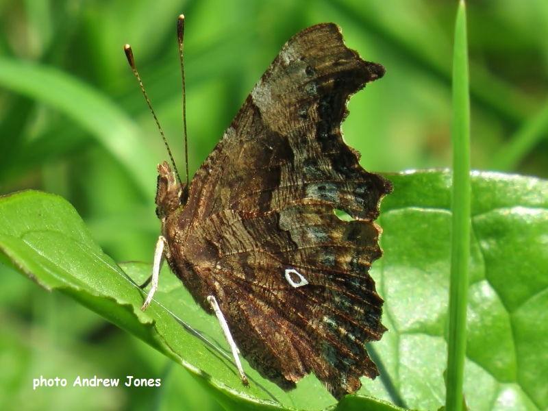 Comma Butterfly aberration  O-album sighting Andrew Jones