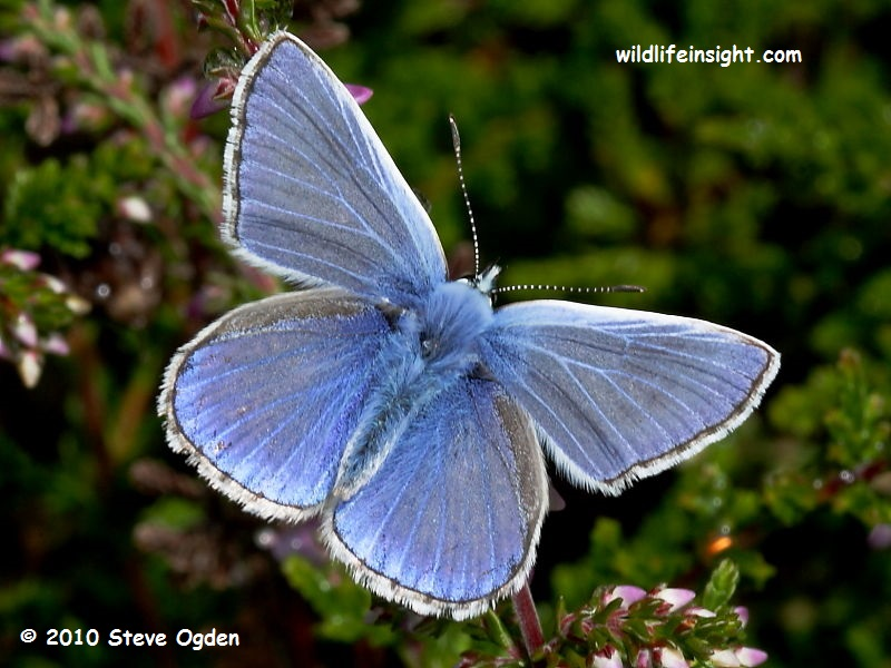 Common Blue butterfly (Polyommatus icarus) - male © 2010 Steve Ogden