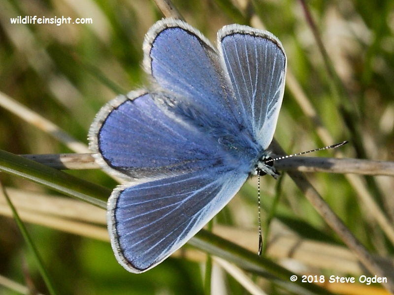 Common Blue butterfly (Polyommatus icarus) - freshly emerged male © 2018 Steve Ogden