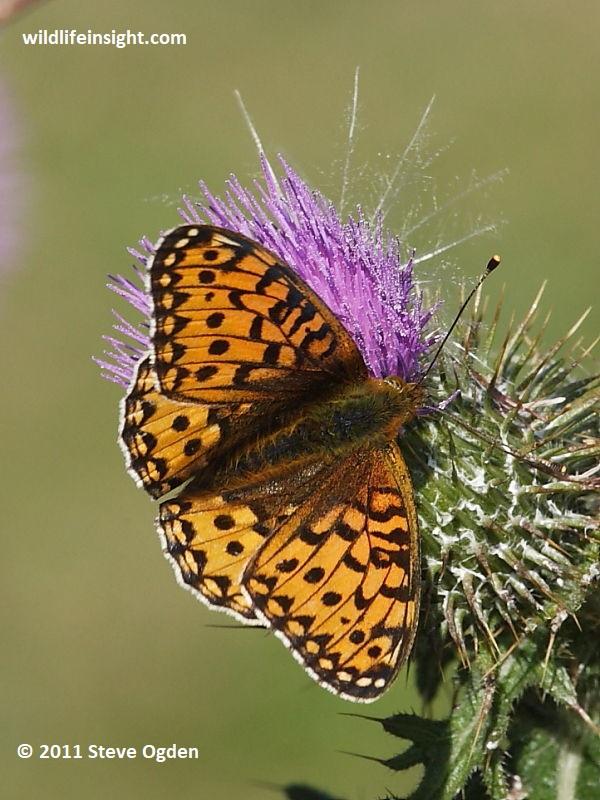 British butterflies gallery - Dark Green Fritillary
